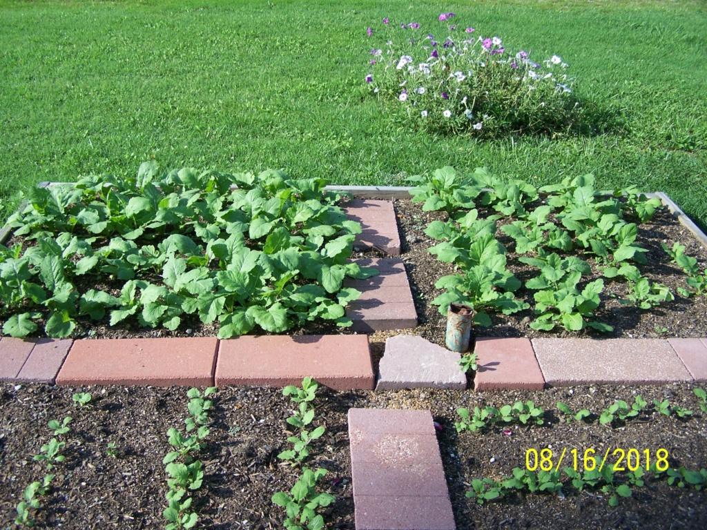 Mr. Booker's FALL garden. 2018 Turnip10