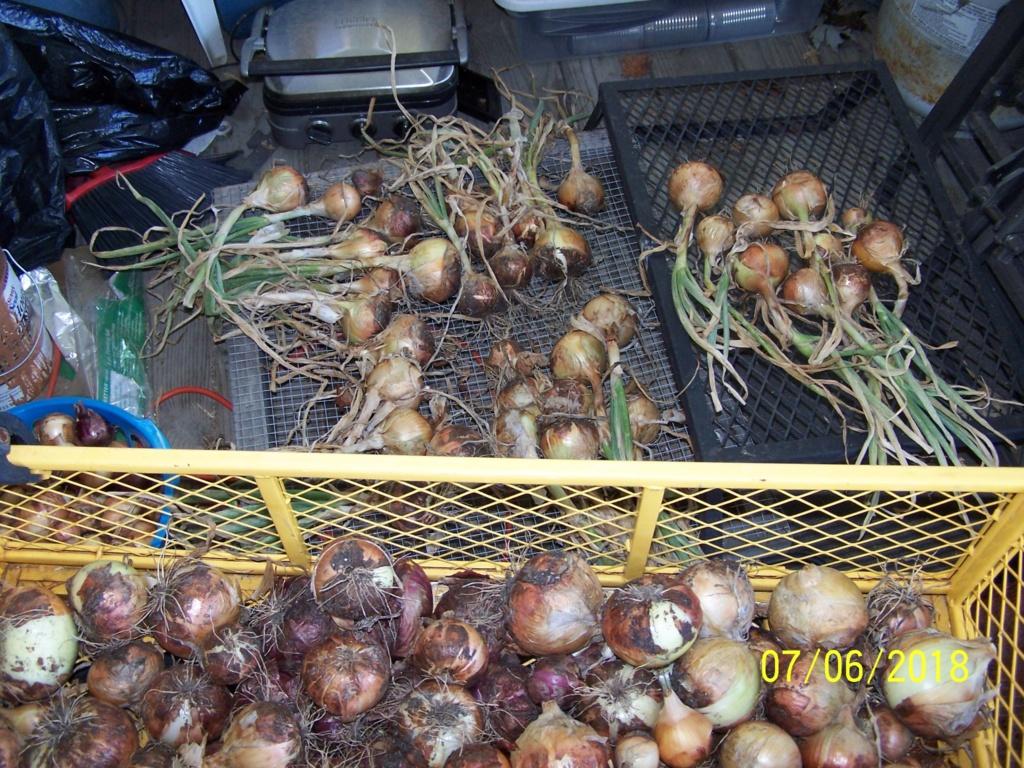 My Onion harvest Wagao210