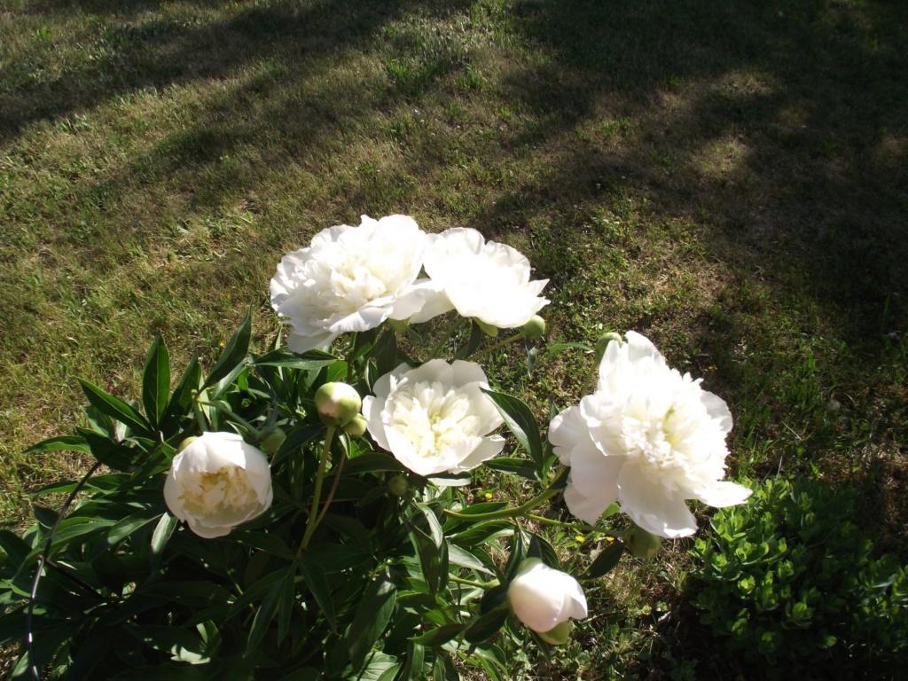 monde floral Pivoin17