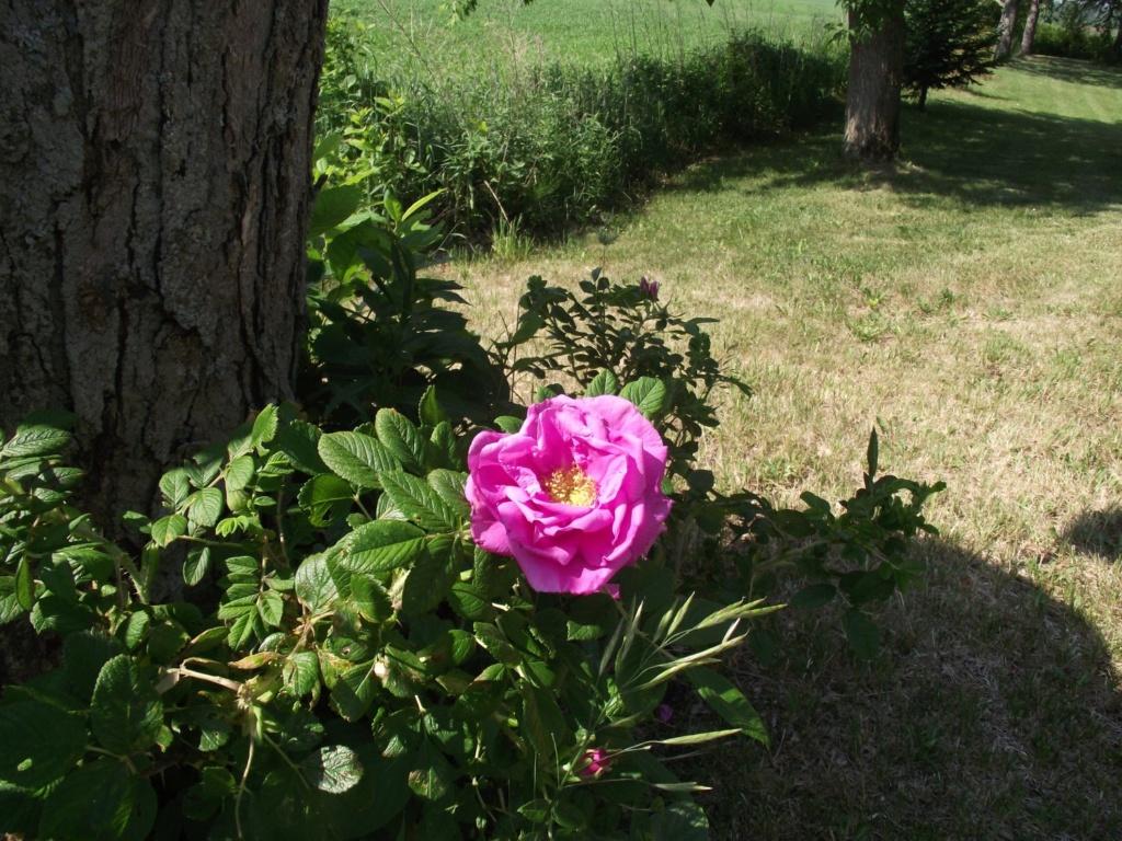 monde floral Rosier10