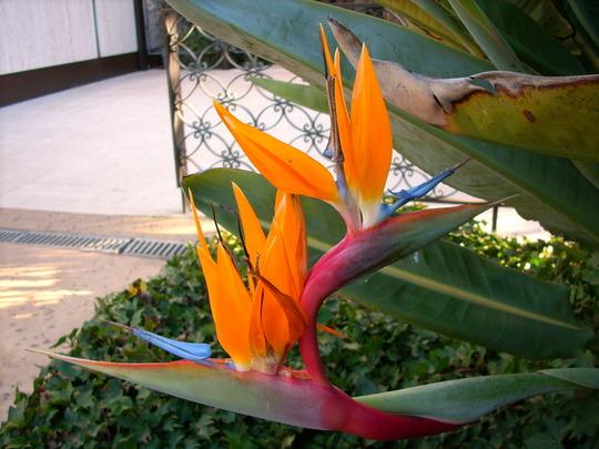 Future fleur de strelitzia ou pas??? 45b89b10