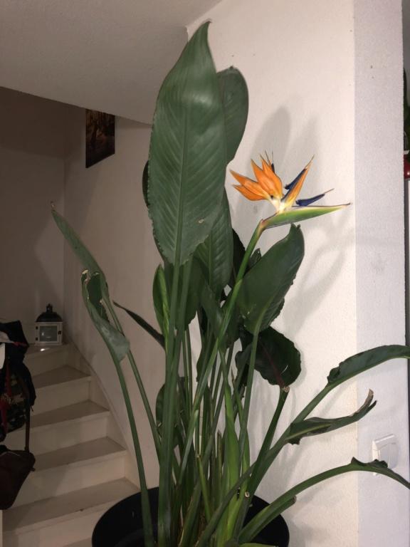 Future fleur de strelitzia ou pas??? 932eb010