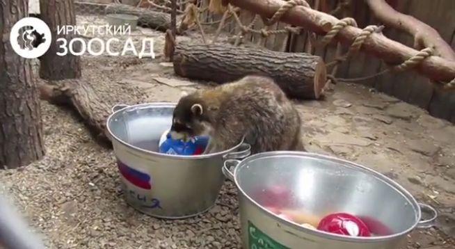 Животные-оракулы на ЧМ-2018 по футболу - Страница 2 65zezz10