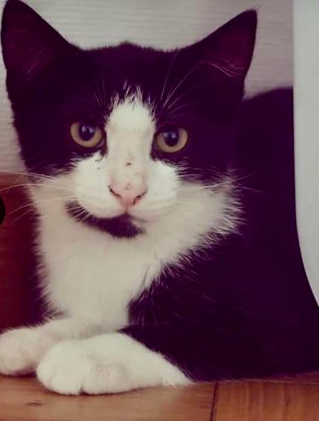 ODIN, européen noir blanc, 6 mois, mâle Img_0517