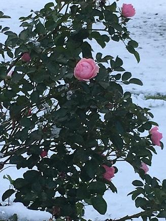 Ruusutarha Zruusu10