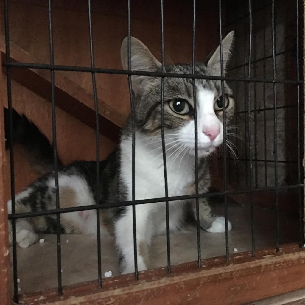 Trouvée chatte tigrée et blanche  Img_8115