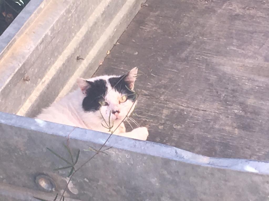 Trouvé chat blanc et noir adulte dans le secteur du lycée international à Colomiers Img_8820
