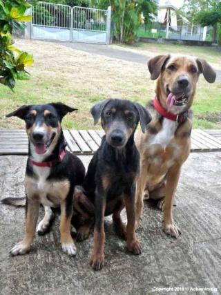 Le royal Bourbon, le chien de la Réunion. Image59