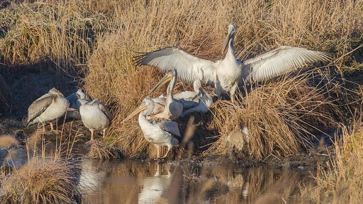 На Алтай занесло редких кудрявых пеликанов 47uygh10