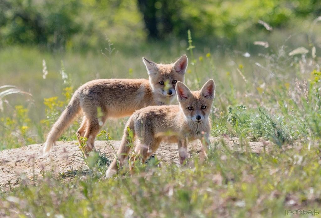 Фотографии животных в природе с обязательным указанием автора Cn6h3210