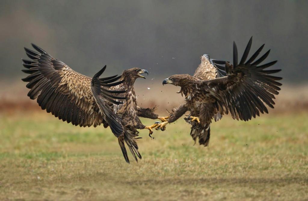 Фото орла и ястреба вместе