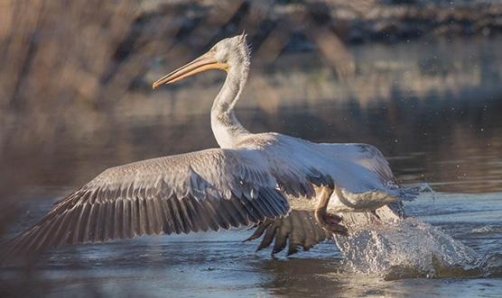На Алтай занесло редких кудрявых пеликанов F3ofuh10