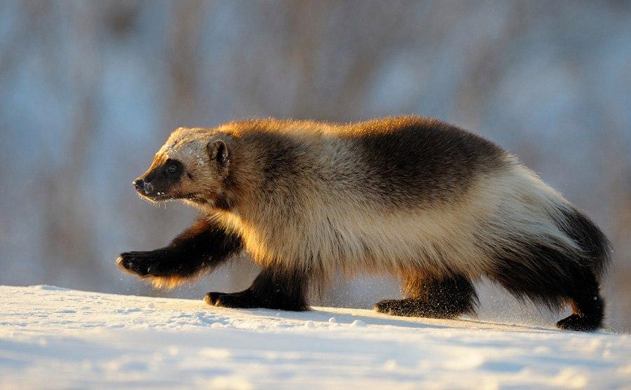 Росомаха - маленький медведь Gczq-p10