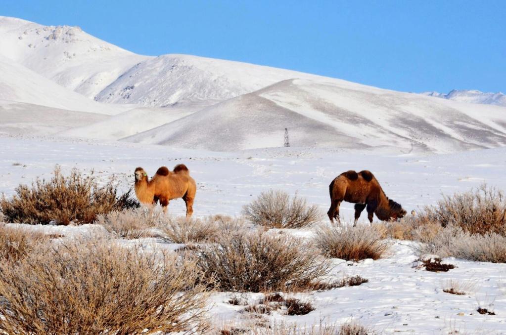 Верблюды Алтая Ylllpa10