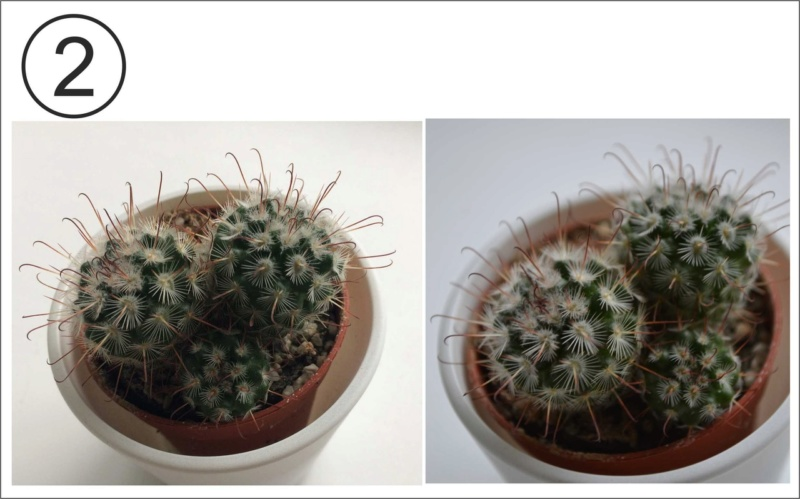Help, please, to identify Mammillaria Aevx7m10