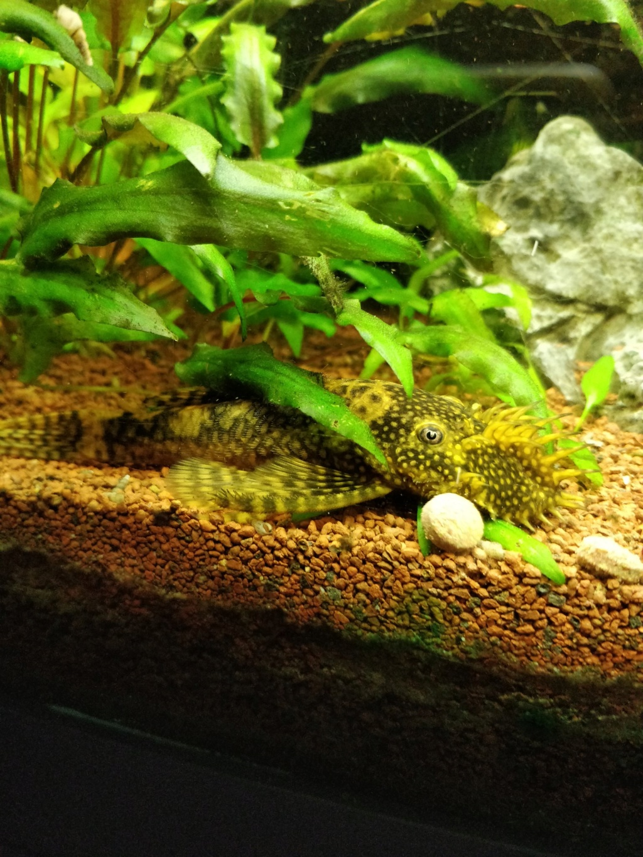[1-Aquario] Bac 260L - Biotope Amazonien  Ancist15