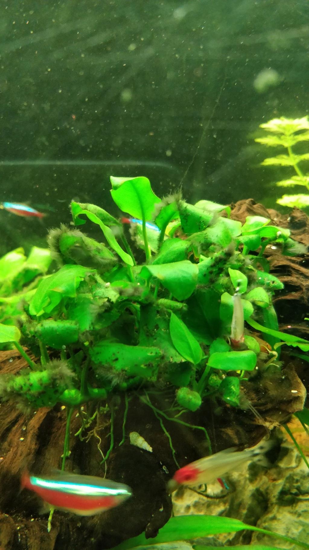 [1-Aquario] Bac 260L - Biotope Amazonien  Anubia10