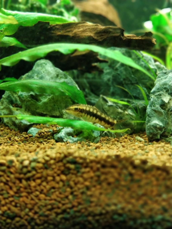 [1-Aquario] Bac 260L - Biotope Amazonien  Botia210