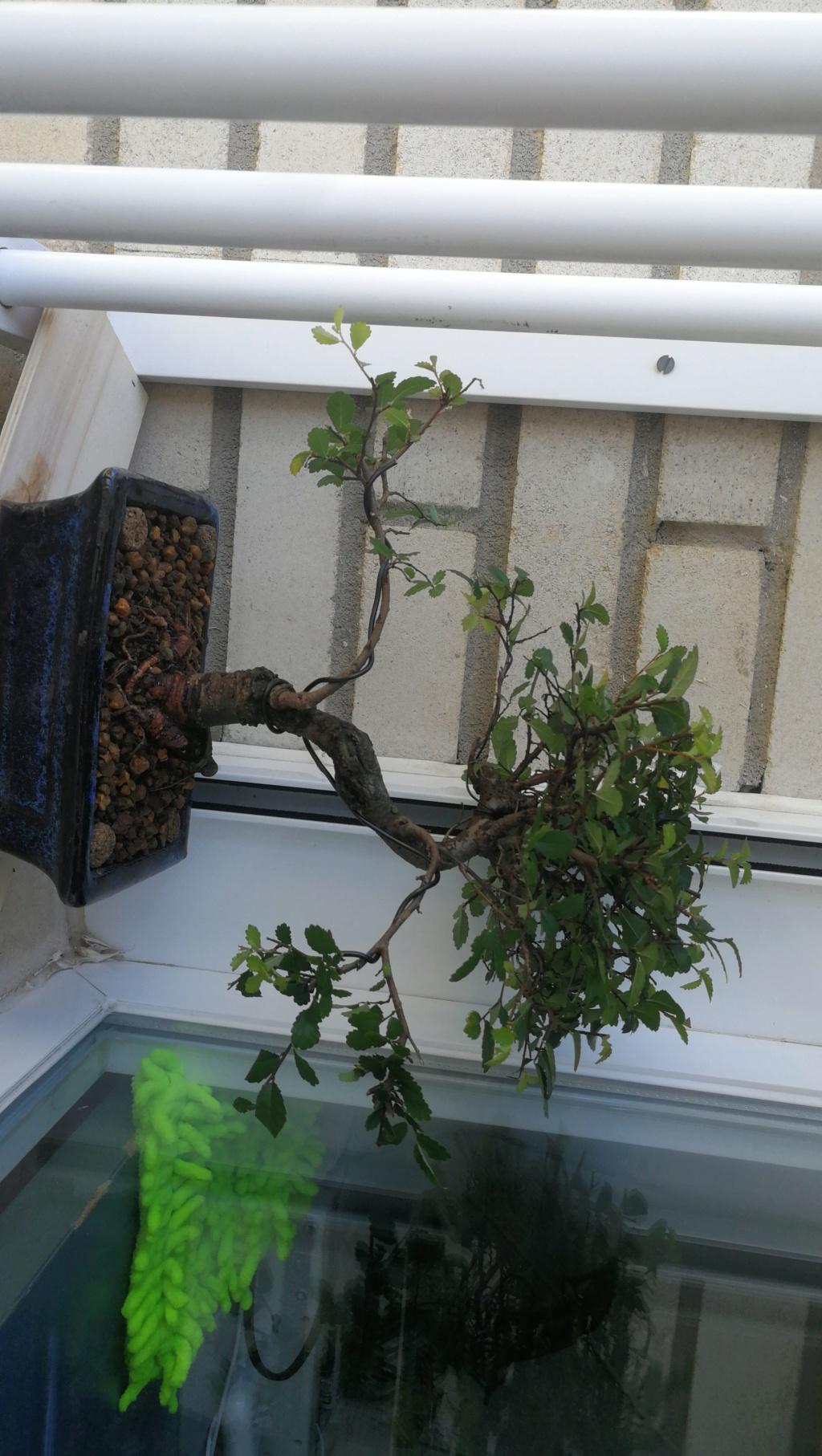 Mi nuevo bonsai y ultra novato Img-2011