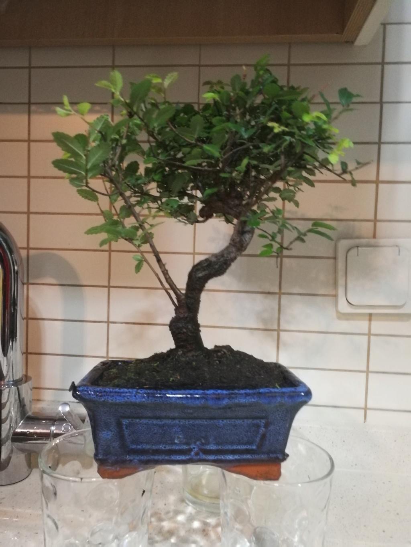 Mi nuevo bonsai y ultra novato Img_2010