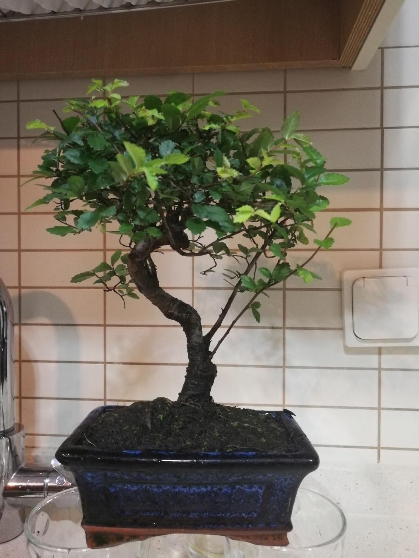 Mi nuevo bonsai y ultra novato Img_2011