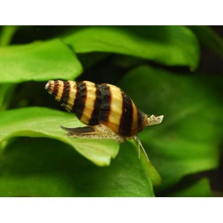 (Débutant) Echinodorus transparentes et se trouent Escarg10