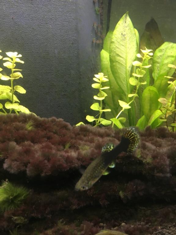(Débutant) Echinodorus transparentes et se trouent Guppy10