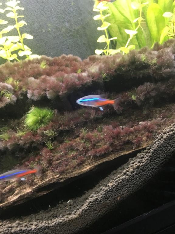 (Débutant) Echinodorus transparentes et se trouent Neaon10