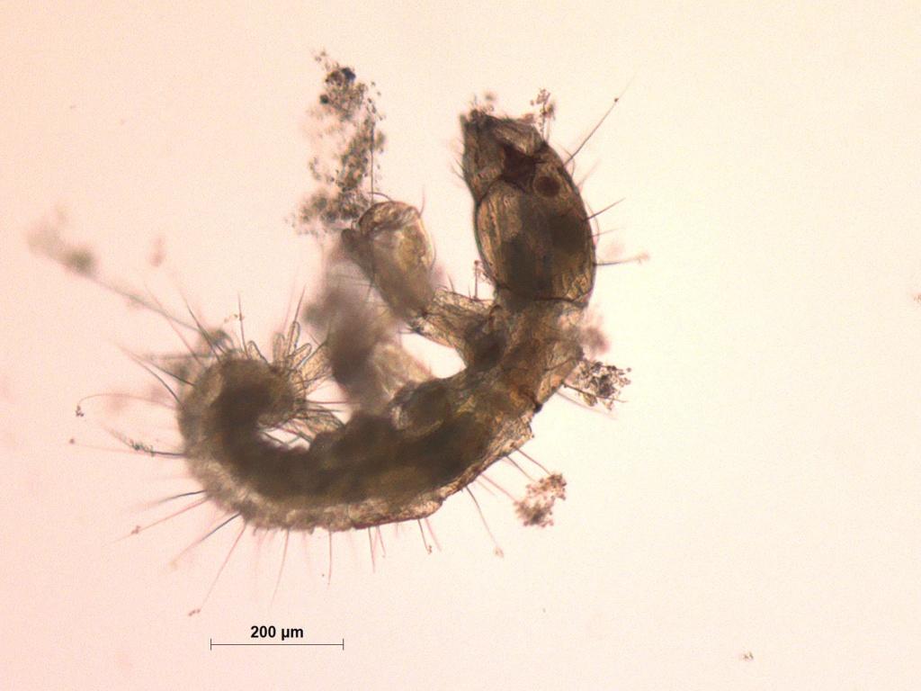 Identification larves aquatiques Indefi10