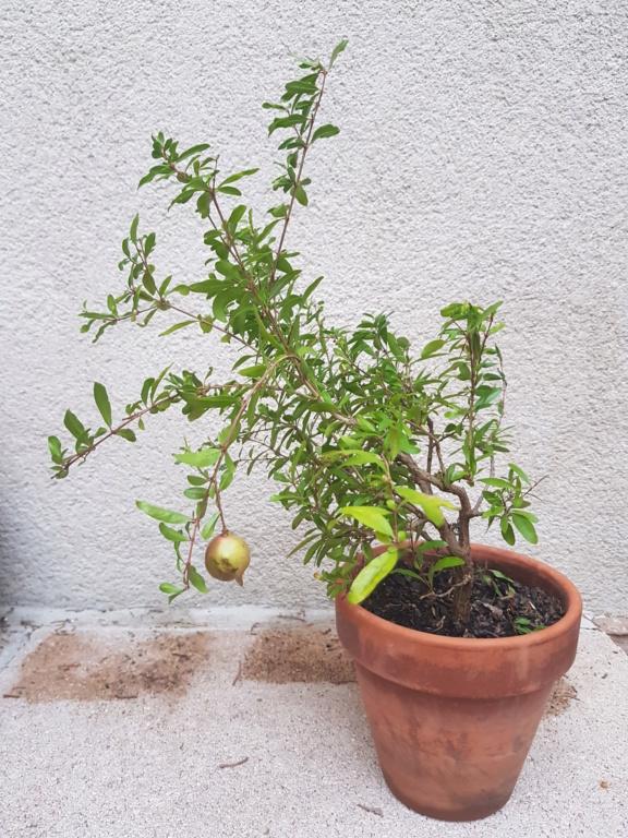 Nuevo bonsai granado 20191011