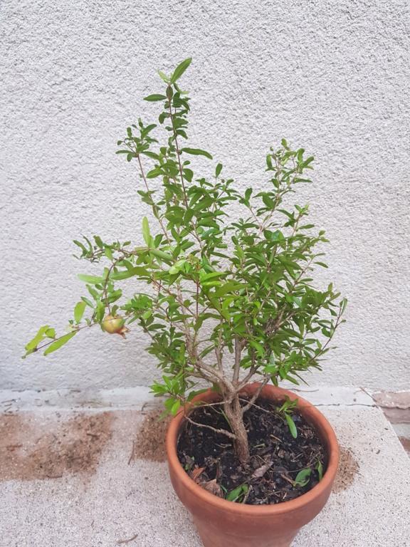 Nuevo bonsai granado 20191012