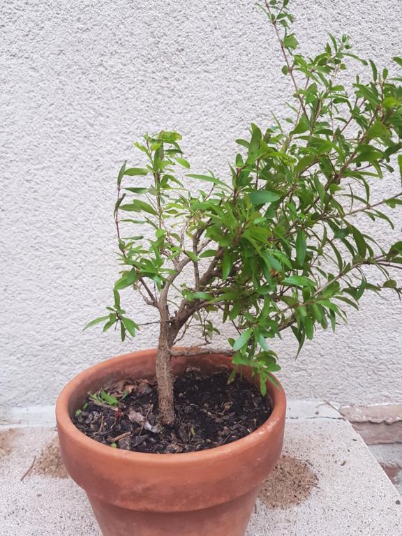 Nuevo bonsai granado 20191013