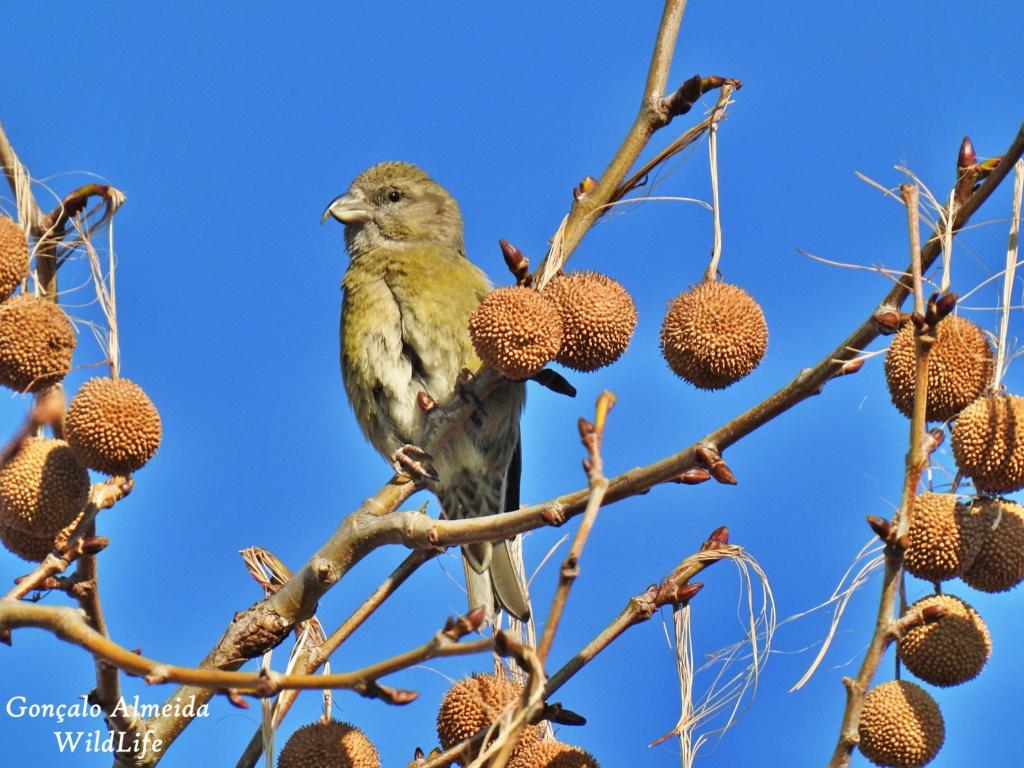 Fórum Aves - Birdwatching em Portugal - Portal Dscn4610