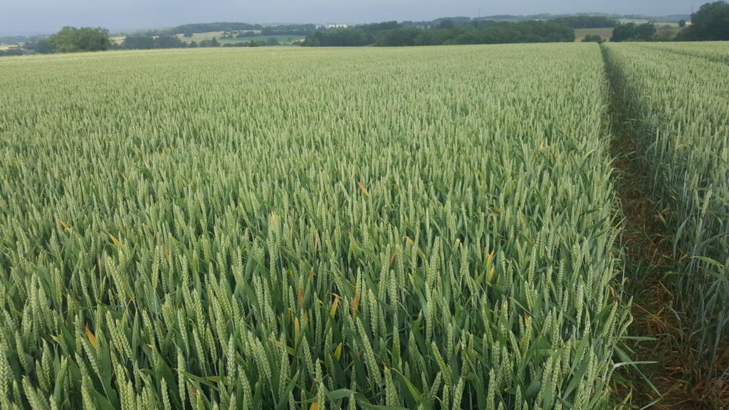Suivi des blés 2020 - Page 20 20200611