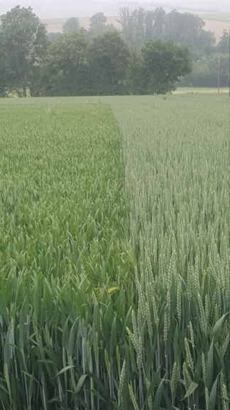 Variété de blés  - Page 2 20210610