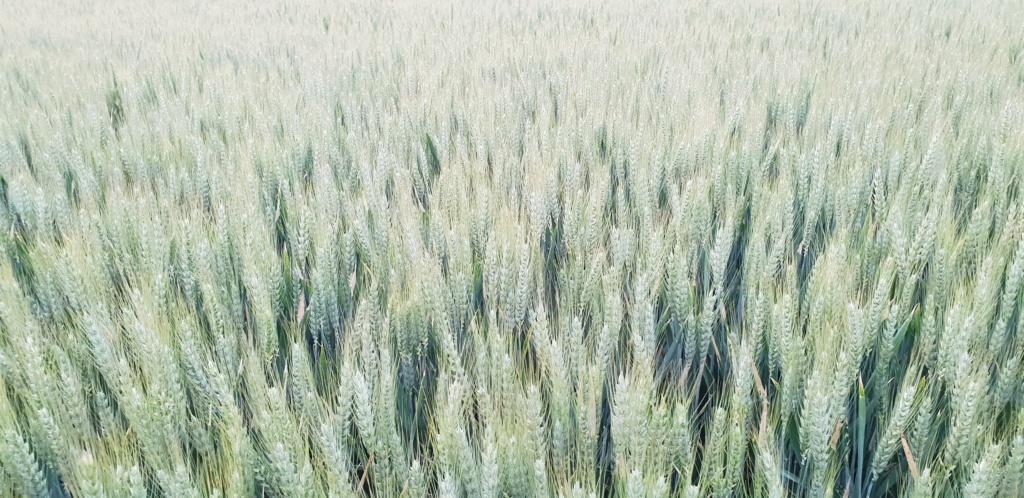 suivi blé 2021 - Page 18 20210511