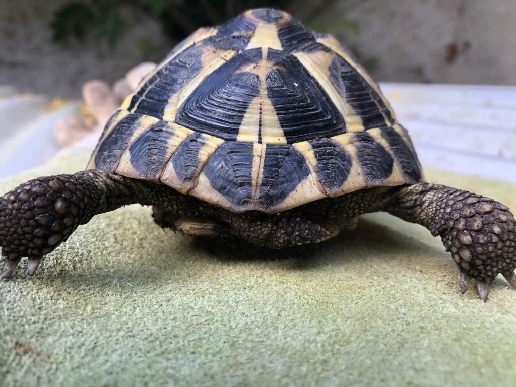 Identification de deux tortues terrestres 0e82f410