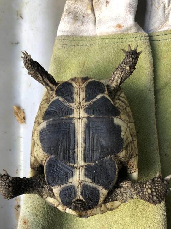 Identification de deux tortues terrestres 7167fc10
