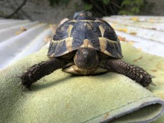 Identification de deux tortues terrestres F1130210