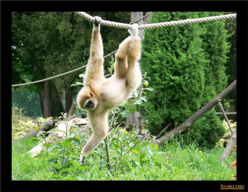 Le gibbon lar (Hylobates lar) Fete_a13