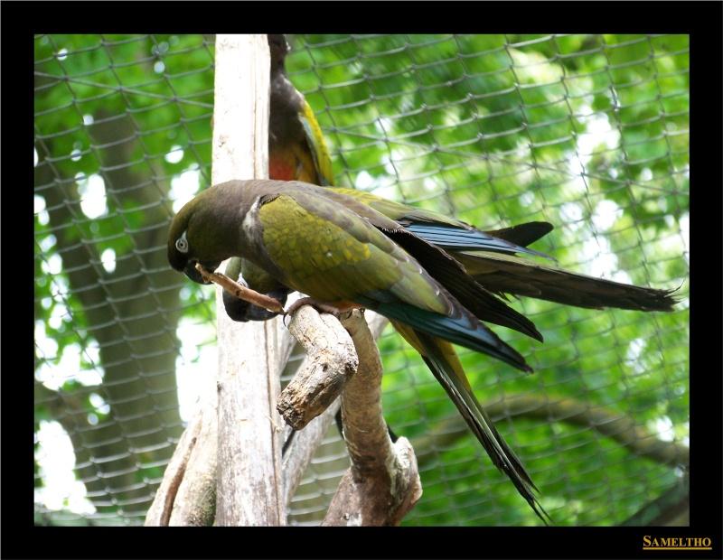 La perruche de Patagonie (Cyanoliseus patagonus) Fete_a16