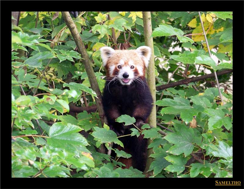 Le panda roux (Ailurus fulgens fulgens ) Panda_10