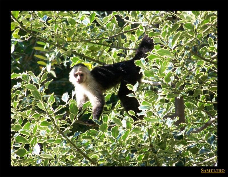 Le sapajou capucin (Cebus capucinus) Panda_11
