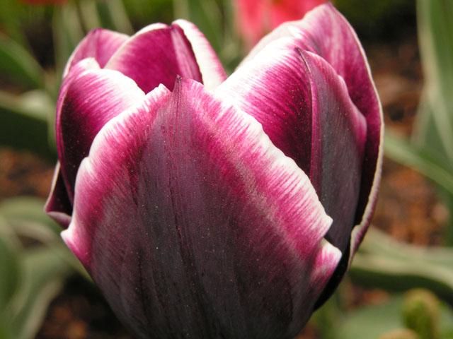 Tulipes, rhodos et orchidées ... Pict6712