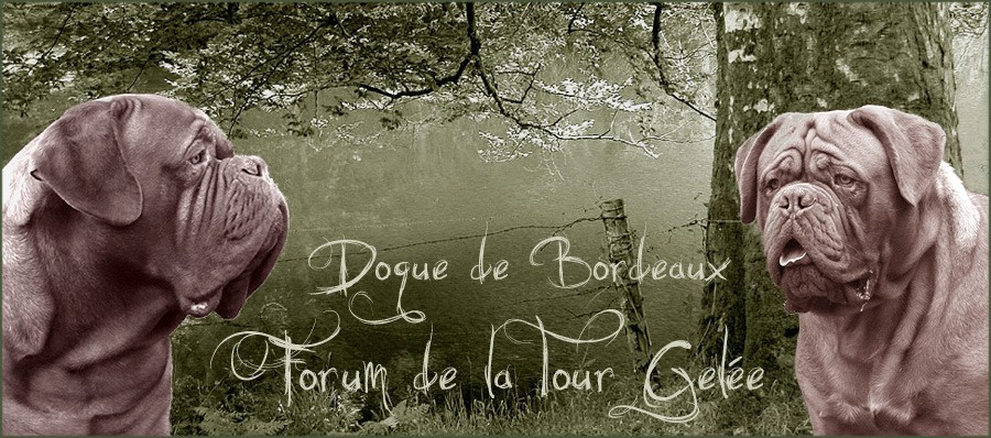 FORUM TG DOGUE DE BORDEAUX