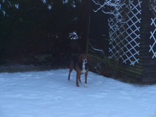 CAMILLA, croisée beagle/franco anglais femelle, 6 ans (85)..(filleule de Patricia) 34237310