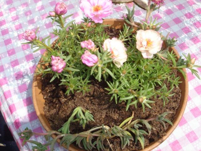 Les plantes grasses en fleurs Dsc07512