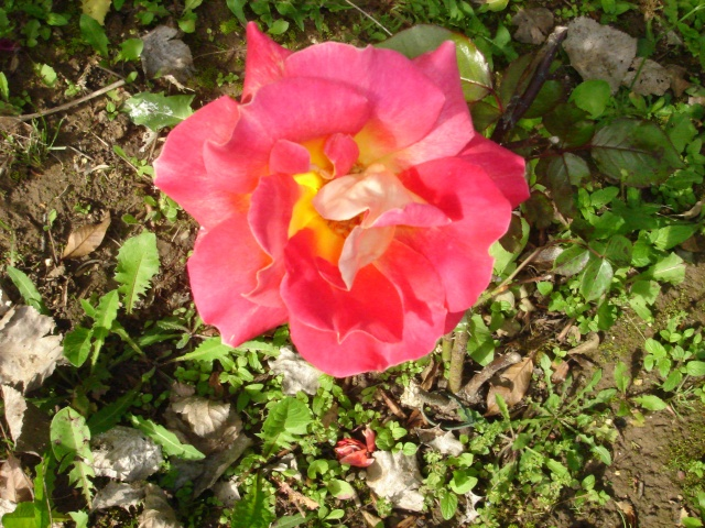 Les roses en ce moment dans mon jardin Dsc07514