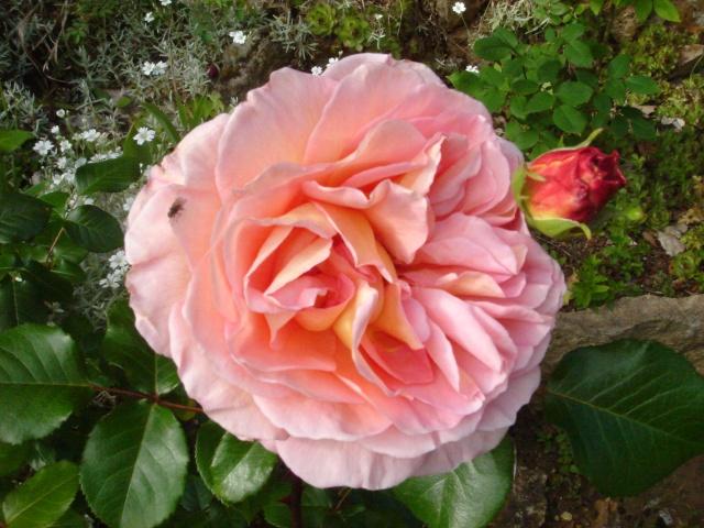 Les roses en ce moment dans mon jardin Dsc07515