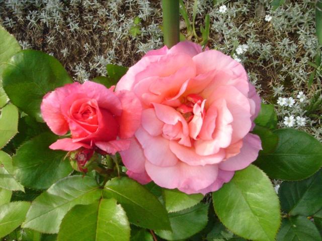 Les roses en ce moment dans mon jardin Dsc07516